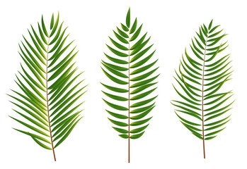Palm Tree Leaf  Silhouette Isolated on White Background