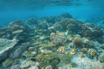 Shallow corals (Acropora and Pocillopora) underwater on the reef flat, natural scene, Pacific ocean, Tuamotu archipelago, French Polynesia