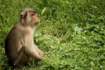 Scimmia seduta su un prato di erba verde