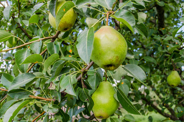 Healthy Organic Pears. Juicy flavorful pears of nature background. Pear on a branch. A pear on a tree (growing). Ripen Bosc Pears on the Tree. organic pears on tree branch