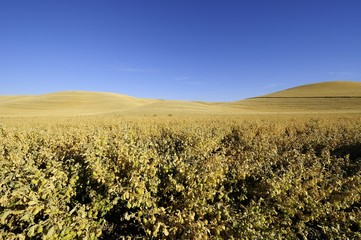 Ripe chickpeas ready to harvest in the Palouse of Washington State.