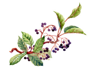 Watercolor illustration with branch, leaves and wild berries