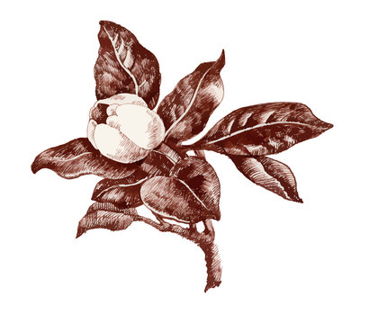 Summer garden magnolia flower bud sketch