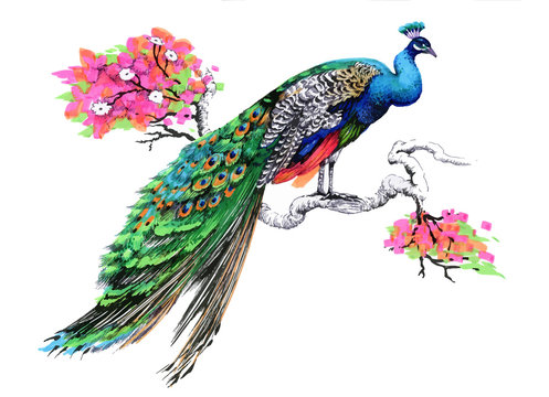 Watercolor drawing peacock on blooming tree branch on white background.