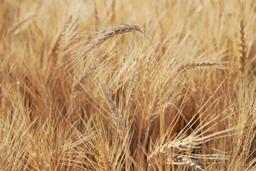 Barley spikelets close-up