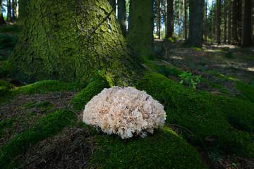Baumschwamm am Waldboden