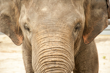 Elephant face closeup
