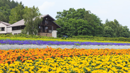 Furano, Hokkaido, Japan – July 30, 2015: Various colorful flowers fields in front of greenhouse at Tomita Farm, a famous tourist attraction of Furano, Hokkaido.