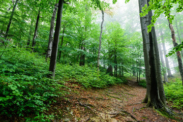 Beech forest after a rain.