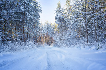 Trees in snow in the winter wood. Forest road. Latvia. Europe.