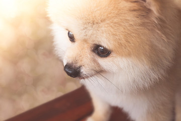 Pomeranian dog portrait with  bokeh background