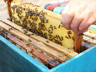 Man getting out frame with honeycomb from beehive