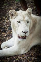 Weißer Löwe 1