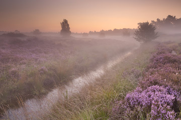 Blooming heather on a foggy morning at sunrise