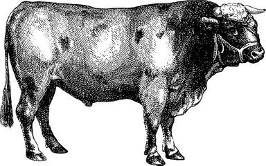 Vintage image bull