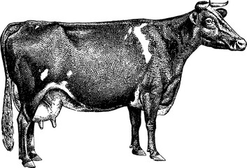 Vintage image cow