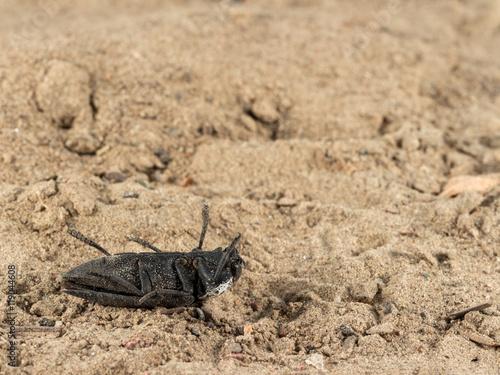 Closeup dead black beetle (Capnodis tenebrionis) on sand in