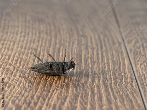 Closeup dead black beetle (Capnodis tenebrionis) on flooring