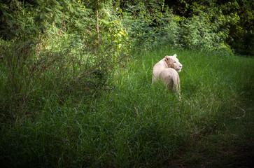 Weißer Löwe 2