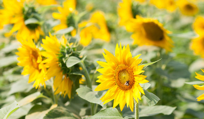 Sunflower field on a sunny day.