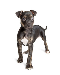 Cute Black Brindle Pit Bull Puppy