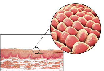 Human cells, light micrograph and 3D illustration. Micrograph shows non-keratinized stratified squamous epithelium of esophagus