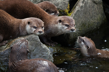 Oriental small-clawed otter (Amblonyx cinerea)