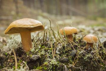 Mushroom suillus bovinus growing in august