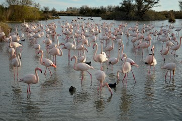 Flamingos at Camargue Natural Park in France