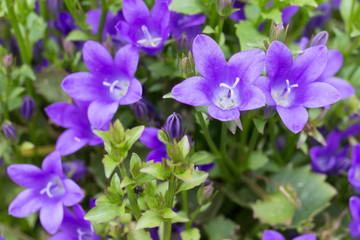purple flower bell