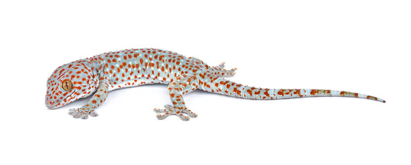 gecko isolated on white background
