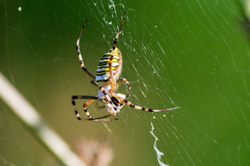 Spider Argiope with its prey on the web.