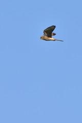 falco tinnunculus kestrel bird