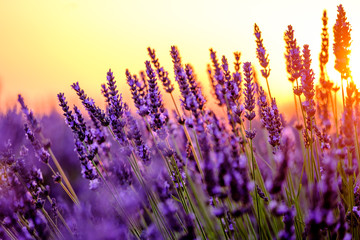 Fotobehang Lavendel Blooming lavender in a field at sunset in Provence, France