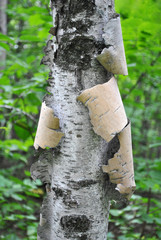 Close Up of a Pealing White Birch Tree Deep in the Woods