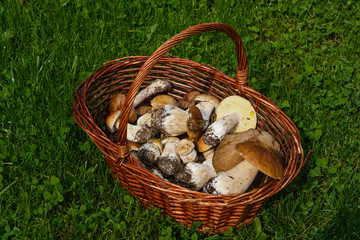 Basket with the gathered mushrooms