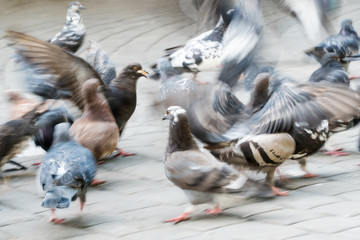 Urban pigeons in motion