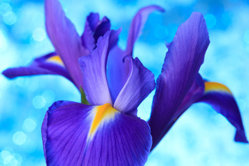 Beautiful blue iris flowers background
