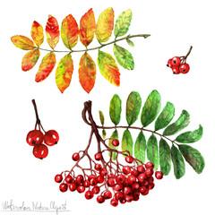 Poster Waterverf Illustraties Watercolor Nature Clipart - Rowan