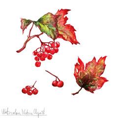 Poster Waterverf Illustraties Watercolor Nature Clipart - Viburnum