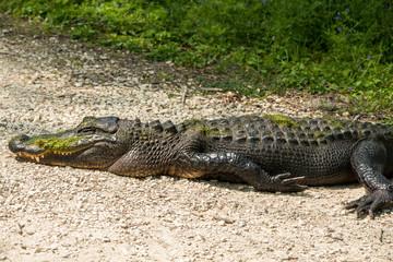Sleeping Alligator at Brazos Bend State Park