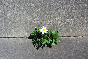 Beautiful and tough daisy grows in a crack in the pavement