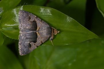 Bastilla Moth perched on a green leaf.