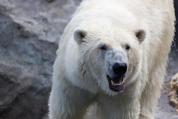 Thalarctos Maritimus (Ursus maritimus) commonly known as Polar bear