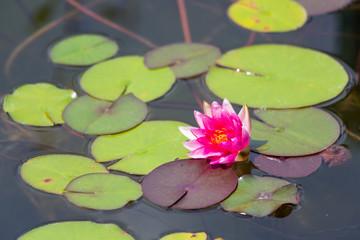 Waterlily in garden pond