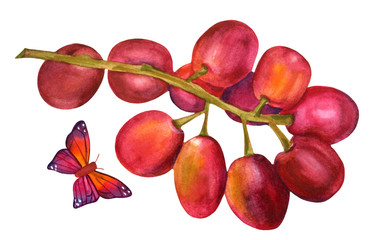 Watercolour bunch of vibrant red grapes on white, with butterfly