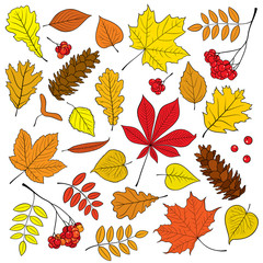 Autumn vector set of different, isolated, detailed outline tree leaves, bunch of ripe Rowan and pine cone on white background. Illustration in red, yellow, orange colours for design and decor.