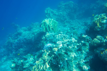 coral reef of the  sea