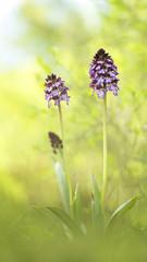 Orchis Purpurea Crimean rare flower in the April woods