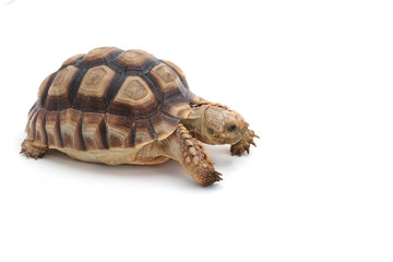 African Spurred Tortoise (Geochelone sulcata) isolated on white